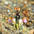 Mantis shrimp - PhotoDune Item for Sale