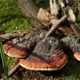 Mushroom Ganoderma Lucidum - VideoHive Item for Sale