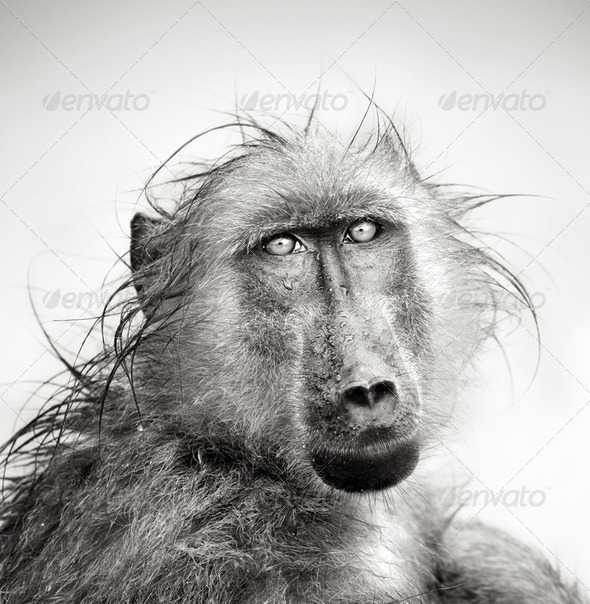 Wet Baboon portrait - Stock Photo - Images