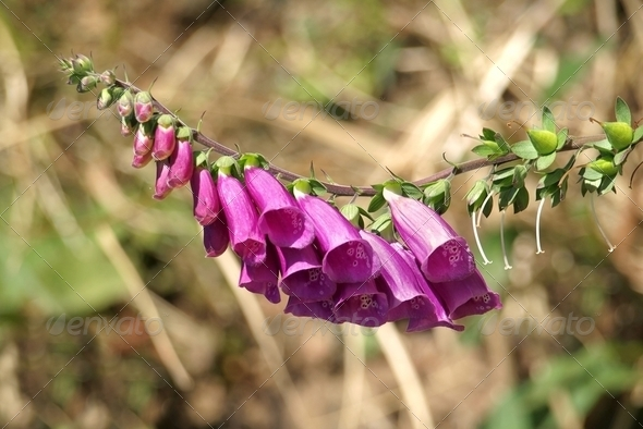 Flowers of the Foxglove - Stock Photo - Images