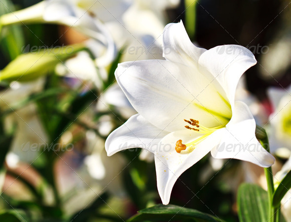 Beautiful lily - Stock Photo - Images