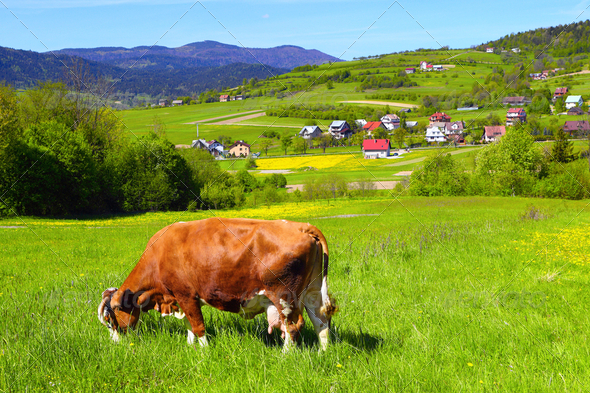 A cow on a green pasture - Stock Photo - Images