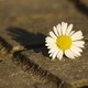 Lonely daisy on the ground - PhotoDune Item for Sale