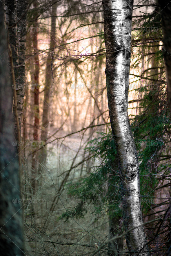 Birch tree in evening - Stock Photo - Images