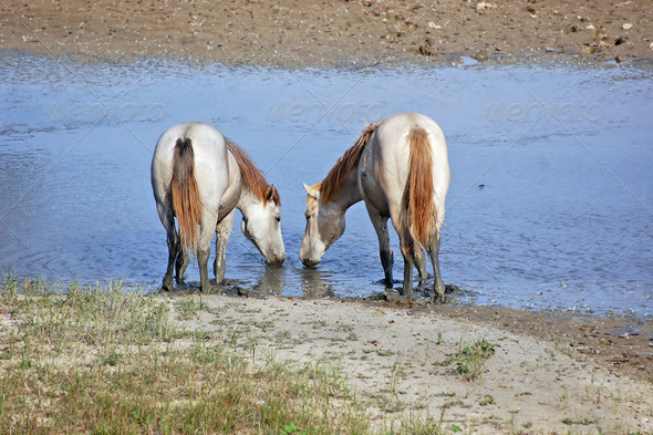 White horses - Stock Photo - Images