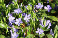 Blue periwinkle flower bed - PhotoDune Item for Sale