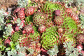 Hens and Chicks - Sempervivum soboliferum - PhotoDune Item for Sale
