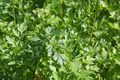Fresh green leaves of a parsley - PhotoDune Item for Sale