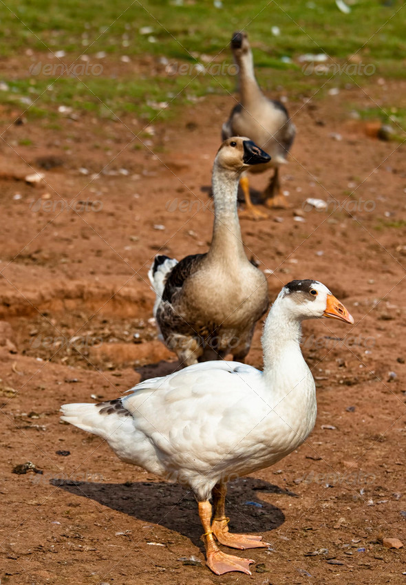 Barnyard Geese - Stock Photo - Images