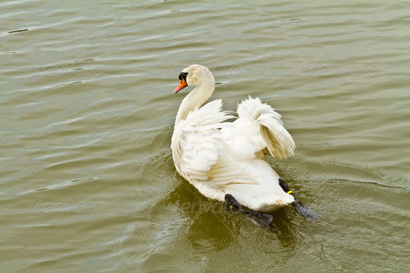 White swan in water - Stock Photo - Images