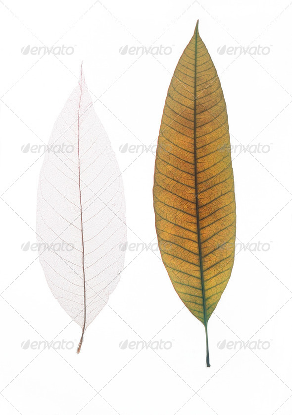 Two dry leaves - Stock Photo - Images