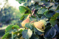 Pears In The Garden - PhotoDune Item for Sale