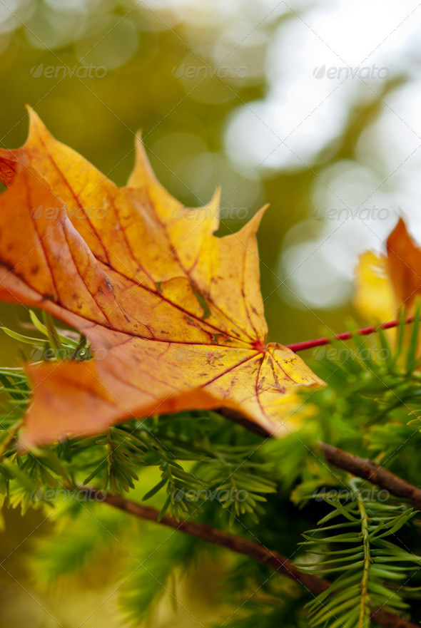 Maple Leaf - Stock Photo - Images