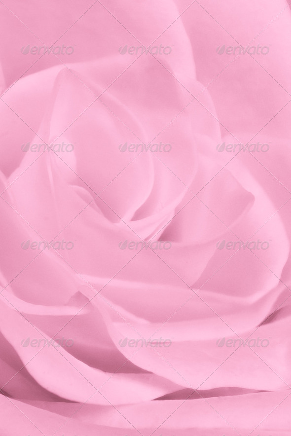 pink rose close up - Stock Photo - Images