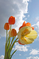 Yellow and orange tulips - PhotoDune Item for Sale