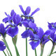 Blue Iris Bouquet - PhotoDune Item for Sale