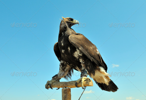 Steppe Eagle  Close-up. - Stock Photo - Images