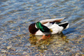 Duck on water - Hygiene - PhotoDune Item for Sale