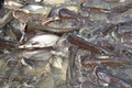 Many Pangasiidae fish in pond - PhotoDune Item for Sale