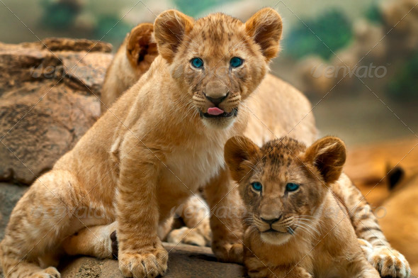Lions - Stock Photo - Images