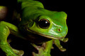 Watching tree frog - PhotoDune Item for Sale