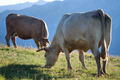white cows in a prairie - PhotoDune Item for Sale
