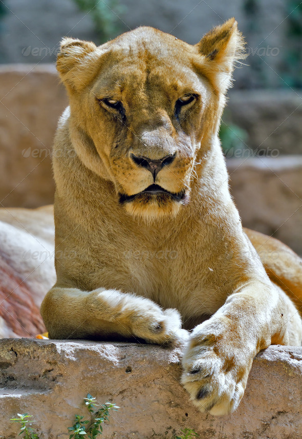 Lioness - Stock Photo - Images