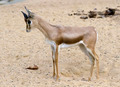 Small gazelle - PhotoDune Item for Sale