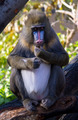 Mandrill - PhotoDune Item for Sale