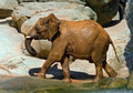 African elephant, recently bathed. - PhotoDune Item for Sale