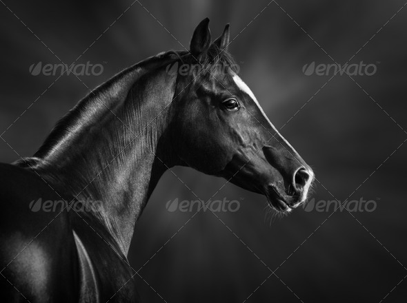 Black and white portrait of arabian stallion - Stock Photo - Images