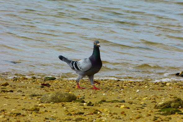 Pigeon - Stock Photo - Images