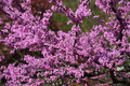 Redbud Flowers - PhotoDune Item for Sale