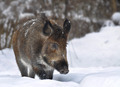 Wild boar ( Sus scrofa ) - PhotoDune Item for Sale