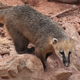 Coati - VideoHive Item for Sale