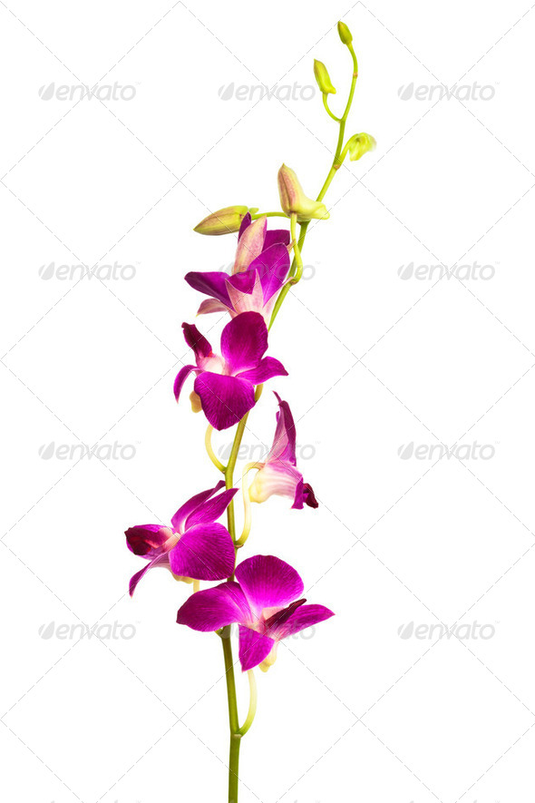 purple orchid - Stock Photo - Images
