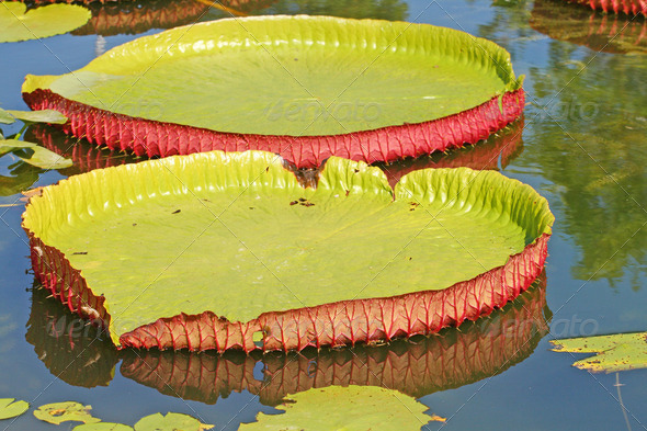 Lotus Leaves - Stock Photo - Images