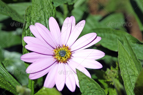 osteospermum - Stock Photo - Images