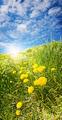 Sunny Dandelions - PhotoDune Item for Sale