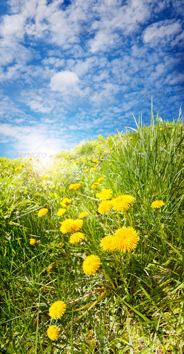 Sunny Dandelions - Stock Photo - Images