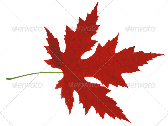 leaf maple - Stock Photo - Images
