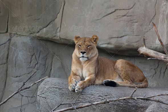 Female Lion - Stock Photo - Images