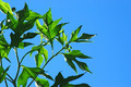 Blue sky and leaves - PhotoDune Item for Sale