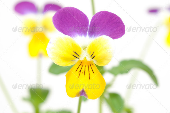 Purple-yellow pansy - Stock Photo - Images