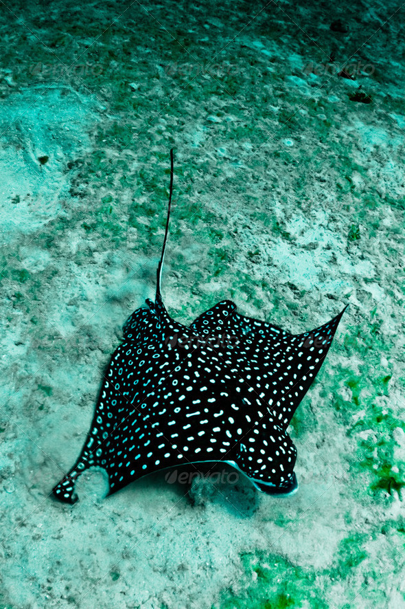 Eagle Ray - Stock Photo - Images