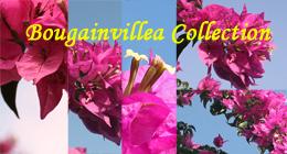 Bougainvillea Collection