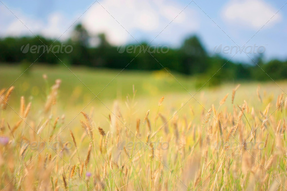 Wild Field Crops - Stock Photo - Images