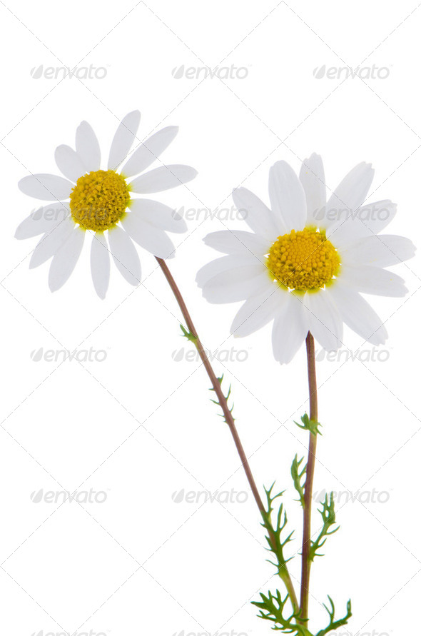 Daisy flowers - Stock Photo - Images