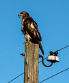 Red-tailed Hawk Calling - PhotoDune Item for Sale