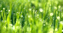 DROPS OF DEW ARE IN GREEN GRASS